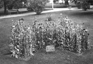 Poppy bed in the form of a Maltese Cross at Cook Park, Orange, c1920, in memory of fallen soldiers. The poppies were grown from seeds gathered from French battlefields and were supplied by the director of the Botanic Gardens in Sydney. Image courtesy Orange City Library.