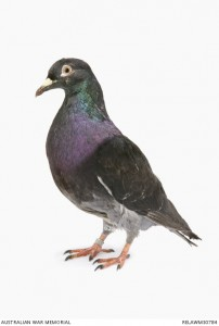 Australian carrier pigeon. Image courtesy Australian War Memorial.